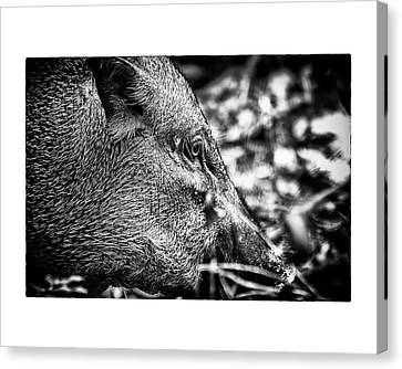 Canvas Print featuring the photograph Wild Boar by Wade Courtney