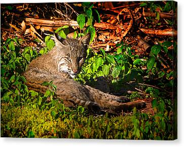 Wild Bobcat At Sunset Canvas Print