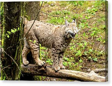 Wild Bobcat In Mountain Setting Canvas Print by Teri Virbickis