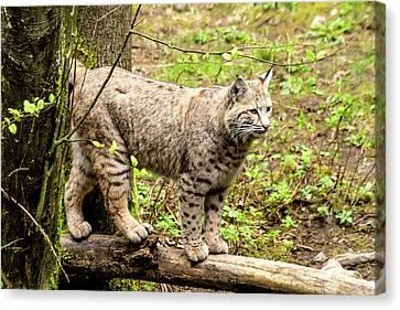 Wild Bobcat Canvas Print by Teri Virbickis
