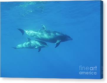 Wild Bottle-nosed Dolphin Mother And Calf Canvas Print by Sami Sarkis