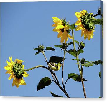 Wild Canary Sunflowers Canvas Print by Shannon Grissom