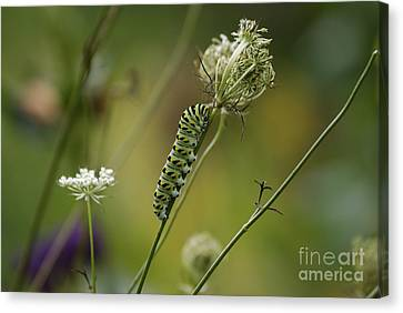 Wild Carrot Feast Canvas Print
