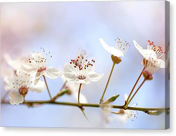 Wild Cherry Blossom Canvas Print by Jacky Parker