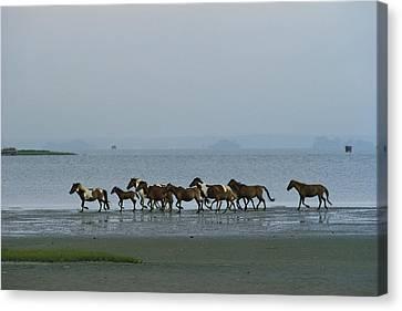 Chincoteague Canvas Print - Wild Chincoteague Ponies Run by Medford Taylor