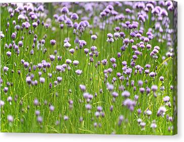 Wild Chives Canvas Print by Chevy Fleet