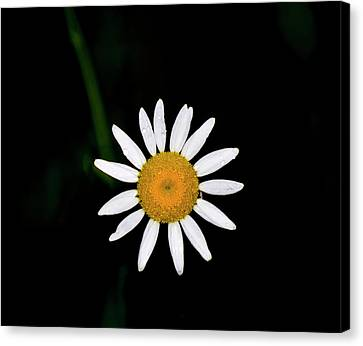 Canvas Print featuring the digital art Wild Daisy by Chris Flees