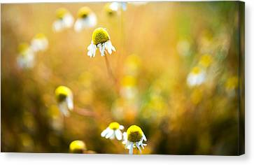 Wild Daisy Illusions Canvas Print by Ron Day