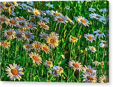 Wild Daisy Canvas Print by Robert Pearson