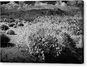 Canvas Print featuring the photograph Wild Desert Flowers Blooming In Black And White In The Anza-borrego Desert State Park by Randall Nyhof
