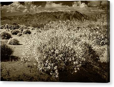 Canvas Print featuring the photograph Wild Desert Flowers Blooming In Sepia Tone  by Randall Nyhof
