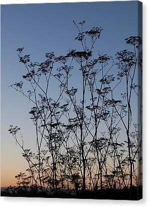 Wild Dill Silhouette Canvas Print by Jean Booth