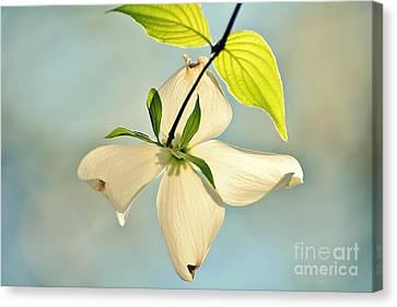 Wild Dogwood Bloom 2 Canvas Print