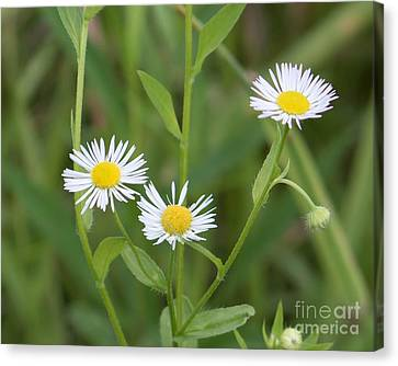 Wild Flower Sunny Side Up Canvas Print