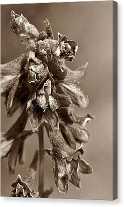Wild Flower In Sepia Canvas Print by Mario Brenes Simon
