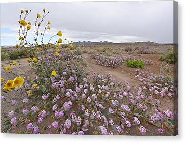 Wild Flowers In Death Valley Canvas Print by Dung Ma