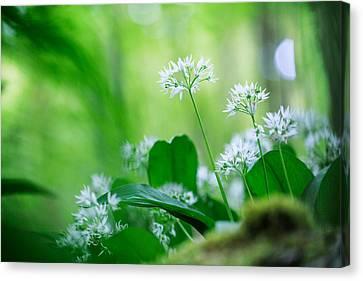 Wild Garlic Spring Wildflower Canvas Print by Dirk Ercken