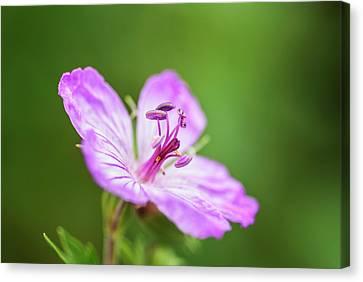 Macro Geranium Flower Canvas Print - Wild Geranium by Vishwanath Bhat