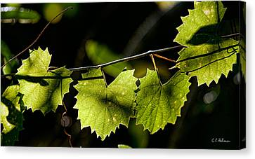 Wild Grape Leaves Canvas Print by Christopher Holmes