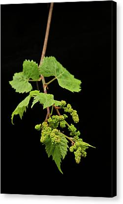 Wild Grapes 1995 Canvas Print by Michael Peychich