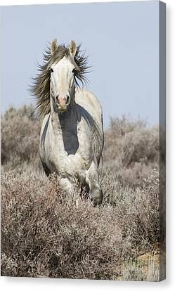 Wild Grey Stallion Runs Close Canvas Print by Carol Walker
