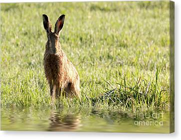 Wild Hare Sat Next To Water Canvas Print