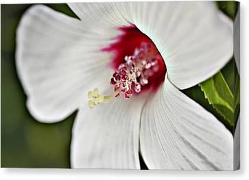 Wild Hibiscus Moscheutos_2a Canvas Print
