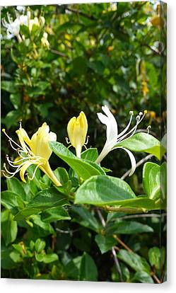 Wild Honeysuckles Canvas Print