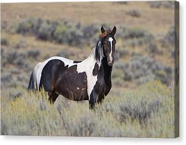 Wild Horse 14 Canvas Print