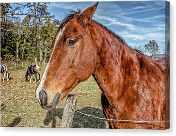 Wild Horse In Smoky Mountain National Park Canvas Print