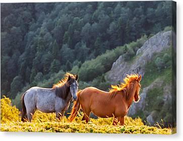 Wild Horses Canvas Print by Evgeni Dinev