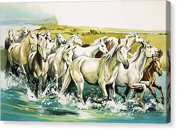 Wild Horses Of The Camargue Canvas Print by English School