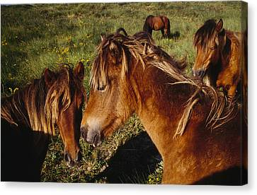 Wild Horses On Sable Island Canvas Print by Justin Guariglia