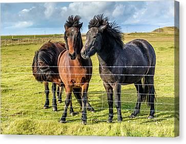 Wild Icelandic Horses Canvas Print by Priyanka Ravi