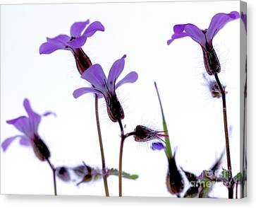 Wild Knotted Cranesbill Canvas Print