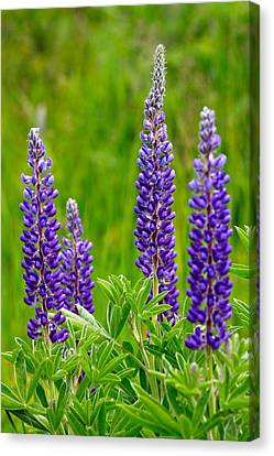 Wild Lupine Canvas Print by Karon Melillo DeVega