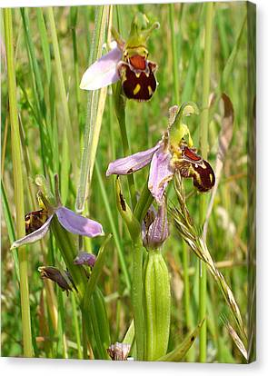 Wild Meadow Bee Orchids Canvas Print