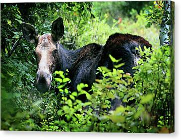 Wild Moose Canvas Print by Dan Pearce
