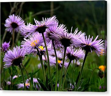 Wild Mountain Asters Canvas Print