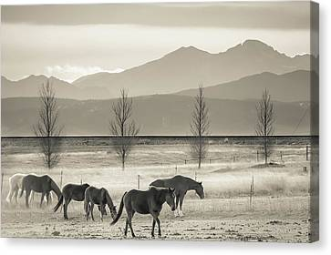 Wild Mountain Horses - Black And White Canvas Print