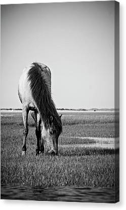 Wild Mustang Canvas Print