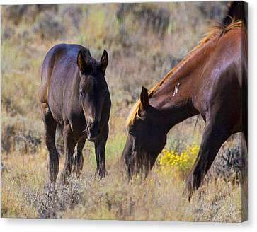 Wild Mustang Foal And Mare Canvas Print