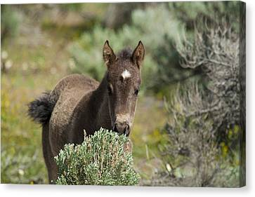 Wild Mustang Foal Canvas Print