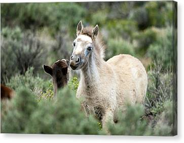 Wild Mustang Foals Canvas Print