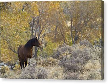 Wild Mustang Horse Canvas Print