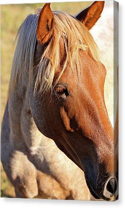 Wild Mustang Canvas Print by Kate Purdy