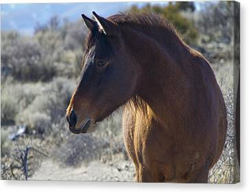 Wild Mustang Mare Canvas Print