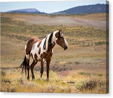 Wild Mustang Stallion Picasso Of Sand Wash Basin Canvas Print