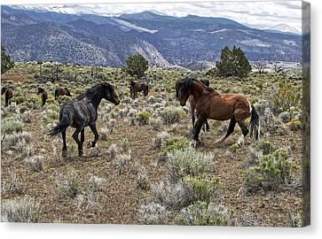 Wild Mustang Stallions Fighting Canvas Print