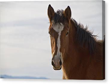 Wild Mustang Yearling Canvas Print